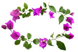 Bougainvillea flower border
