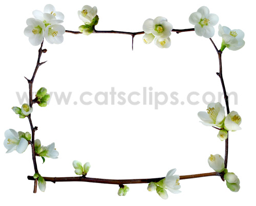 white quince flowers border